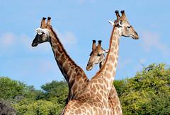 Giraffes gather at an East Etosha Pan waterhole, Namibia (One more shot Rog) Tags: waterholes waterhole etoshawaterholes etosha giraffes giraffe nature drinking drink thirsty namibia etoshanationalpark zebra rogersargentwildlifephotography onemoreshotrog wildlife water