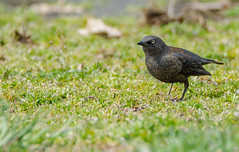 Rusty Blackbird (Euphagus carolinus) (AnthonyVanSchoor) Tags: rusty blackbird euphagus carolinus howardcountymd howardcountybirdclub nikond7100 tamron150600mmtelephotolens birding birdphotography bird save the rustys