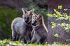 20170402-Mähnenwolf, Tiergarten Nürnberg-009.jpg (serpentes80) Tags: mähnenwolf tiere tiergartennürnberg
