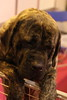 Crufts 2017: Day Two (Toy and Utility): 10-March 2017 (amodelofcontrol) Tags: crufts crufts2017 nec dogshow dog englishmastiff