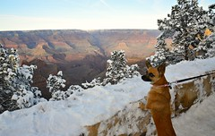 Dog over canyon (Krasivaya Liza) Tags: grandcanyon grand canyon national park canyons nature natural wonder az arizona holiday christmas 2016 snowy winter cliffs cliffside edgeofcliff