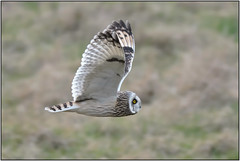 Short-eared Owl (image 1 of 4) (Full Moon Images) Tags: east anglia fens cambridgeshire flight flying bird prey birdofprey shorteared owl short eared seo