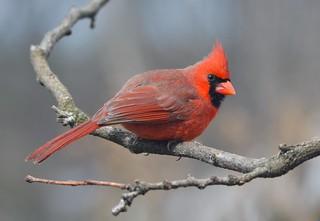 Northern Cardinal male by Jackie B. Elmore 3-14-2017 Lincoln Co. KY