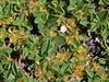 Salix serpillifolia (Thyme-leaved Willow) (Hugh Knott) Tags: flora zermatt switzerland valais salicaceae salix willow salixserpillifolia thymeleavedwillow helvetica