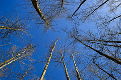 Reaching (James_D_Images) Tags: bare trees upward pov blue sky early spring