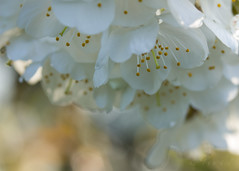 Sunlight Through Blossom (teamyam) Tags: simplybeautiful lovelyflowers macroflowerlovers blossoms white petals whiteblossom beautifulblossom springblooms springtime springtimebeauty