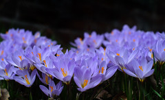 The Crocus Crowd-Primoplan 58/1.9 (inunguak) Tags: crocus springflowers primoplan5819