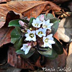 Pale Gentian (tinlight7) Tags: uttarakhand gentian wildflower paleblue white himalayan india taxonomy:binomial=gentianaargentea gentianaargentea inaturalist:observation=5748384