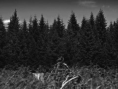 Bayrischer Wald (One-Basic-Of-Art) Tags: blackandwhite black white bwsw monochrom monochrome noir blanc schwarzundweis weiss weis schwarz fotografie photography annewoyand woyand anne 1basicofart onebasicofart tannen bäume baum tree wald wälder forest bayern bavaria bayrischerwald deutsch german germany allemagne