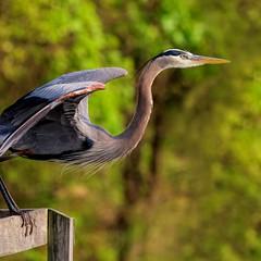 Contemplating Take Off (dianne_stankiewicz) Tags: wildlife nature bird greatblueheron gbh
