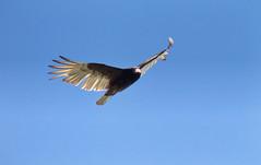 Turkey Vulture (mmorriso2002) Tags: bird vulture turkeyvulture nature wildlife newjersey