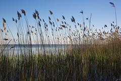 Roseaux (Laph95) Tags: lake lac nature roseaux plante water eau extérieur outside outdoor flore flower herbe cazaux arcachon gironde france
