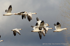 Snow Geese Leaving (Gary Grossman) Tags: snowgeese geeese sunlit clouds garygrossmanphotography wild wildlife wildlifephotography wildlifeart art natureasart birdsasart naturalworld natural birds birdsinflight flight flying flock migrating earlymonring earlyspring pacificnorthwest sauvieisland oregon