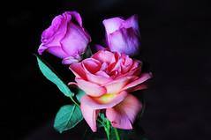 DSC_6723 (PeaTJay) Tags: nikond300s sigma reading lowerearley berkshire macro micro closeups gardens indoors nature flora fauna plants flowers rose roses rosebuds