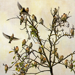where the birds are (1crzqbn) Tags: cedarwaxwing 28 sliderssunday inmygarden