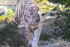Je te vois... (Setsukoh) Tags: tigredubengale bengaltiger tigresse tigress tigre whitetiger tigreblanc look regard chasseresse chasseur hunter walk marche portrait eyes yeux dawn aube matin morning frost gel cold froid fauve félin bigcat pantheratigris camouflage zoo animal animaux mammal mammifère chat cat zoodamnéville metz moselle mosel lorraine lothringen grandest france frankreich amnéville canon7d
