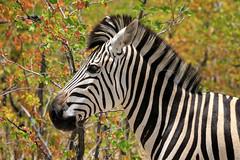 In striped pajamas (rachelsloman) Tags: kwai botswana wild animal zebra
