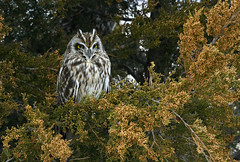 Short eared owl in the wild.For viewing better details in the image view it at full screen. (Mel Diotte) Tags: short eared owl wild nature raptor hunter eyes mel diotte nikon explore