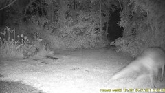 TrailCam229 (ohange2008) Tags: trailcam foxes cat essexgarden dogfood peanuts