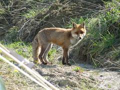wild life (nightcloud1) Tags: fox wildlife marnacchia workshop wherethewildthingsare countrylife sibillinimountains nearamandola visitor