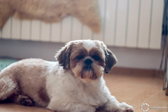 dog #2 (Dyra Photography) Tags: dog doggy shih tzu shihtzu home helios 442 photography photo photographer power oddie bokeh young contrast wallpaper d3200 lens newbie new beautiful amateur amazing animal art apo shot small dyra puppy