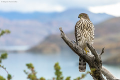PEUQUITO (juvenil) (Miguel Fuentealba) Tags: naturaleza animales aves torresdelpaine patagonia nature animals birds wildlife birdwatching wildanimals