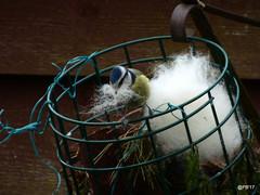 Nest building Blue tit.  Cyanistes (pete Thanks for 4 Million Views) Tags: nest building blue tit cyanistes coerulea umix colchester
