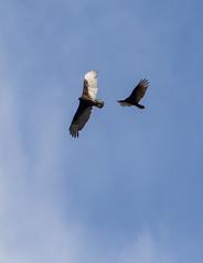 Vulture Pair (John Kocijanski) Tags: vulture birds animals wildlife nature canon70300mmllens