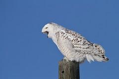 Scolding Snowy Owl (McGill's Nature in Motion) Tags: snowyowl owl raptor predator bird nature wildlife michigan mcgillsnatureinmotion teresamcgill winter snow