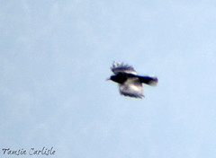 Yellow-billed Chough (tinlight7) Tags: chough crow yellowbilledchough flying flight bird black chandrashila chopta uttarakhand india himalaya