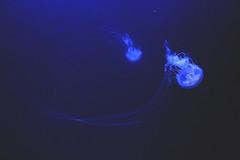 Jellyfish (IzzySharpe) Tags: fish underwater water animals jellyfish blue dark aquarium