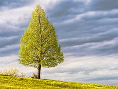 The most beautiful Green... (Ody on the mount) Tags: abendlicht anlässe bäume em5ii fototour frühling grün licht mzuiko6028 omd olympus pflanzen schwäbischealb owen badenwürttemberg deutschland de