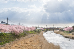 河津櫻. (bgfotologue) Tags: 春 2017 500px a7 bgphoto honshu image imaging japan kawazu landscape nature outdoor photo photography pink rapeseed river riverbank sakura shizuoka sonya72 spring tumblr bellphoto さくら 戶外 攝影 日本 本州 桜 櫻花 河津 河流 油菜花 自然 靜岡 風光 風景