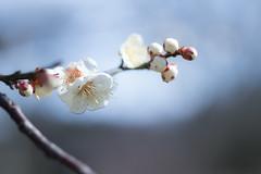 IMG_0634crs (kenta_sawada6469) Tags: flower flowers spring tree trees nature macro japan japanese japaneseapricot ume white