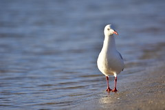 Silver Gull (Luke6876) Tags: silvergull gull bird animal wildlife australianwildlife water