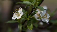 Pflaumenblüten (bpank2) Tags: pflaumenblüten plumblossoms sigma70200