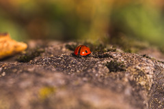 leave me alone (Timo Nennen) Tags: macro ladybug marienkäfer nature sony sonyalpha