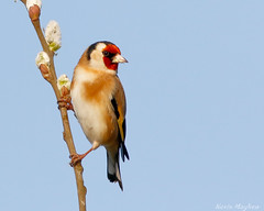 Goldfinch-8061 (kevinmayhew62) Tags: lakenheathrspb goldfinch