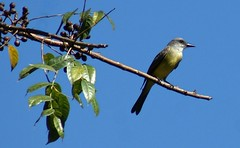 Couch's Kingbird (Kim's Pics :)) Tags: couchskingbird animal flycatcher songbird watching perched branch tree berries bluesky lookout yellowchest waiting sunny warm mexico