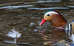 dsc_5657 Mandarin Drake (Jeff J Brown) Tags: mandarin mandarinduck riveresk vibrant colourful
