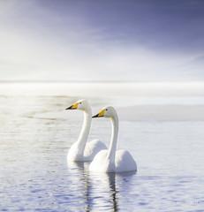 Just us (>>Marko<<) Tags: kangasniemi luonto lintu bird joutsen swan nature outdoor lake ice snow suomi finland canon