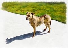 Full Metal Collar (Steve Taylor (Photography)) Tags: collar dog tag bailey art digital animal concrete newzealand nz southisland canterbury christchurch northnewbrighton grass lawn border vigenette