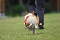 Coca草上飛02 (HYLA 2009) Tags: coca corgi dog taiwan yhhsu æ¯åº é¿co 阿co 柯基 nikkor 300mm f4e pf