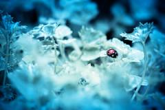"""Le petit chaperon rouge perlé"" (mathieuploton2) Tags: beauty color fresh freshness canon garden light bug ladybug insect focus fantasy water waterdrop drops imaginaire imaginarium reims france fragility"