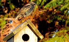 7-Starling (JayVeeAre (JvR)) Tags: ©2017johannesvanrooy bird johannesvanrooy johnvanrooy gimp28 picasa3 httpwwwflickrcomphotosjayveeare johnvanrooygmailcom gimpuser gimpforphotography canonpowershotsx60hs geo:lat=3781275454 geo:lon=17528482311 geotagged