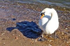 Schwäne und ihre Schatten (mama knipst!) Tags: schwan swan wasservogel bird rhein rhine fluss river