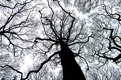 Tree Tops (skoop102) Tags: trees coventry warwickshire silhouette woodlandtrust oak oaktrees pilescoppice abstract tree surreal outdoors sky woods forest westmidlands