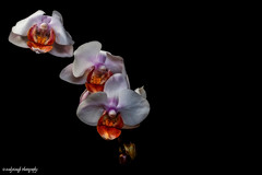 Flower Study 1 (andygoughphotography) Tags: flowers flower photography flowerphotography nature softlight stilllife
