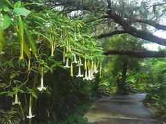 2017-04-11_AngelTrumpetDaily101-365 (vickievilla) Tags: florida harrypleugardens orlando photopainting topazimpression flowers flora