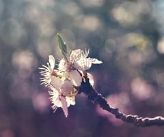 Vårkänslor (Marie Granelli) Tags: fs170416 varkanslor fotosondag explore